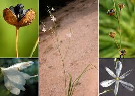 Anthericum ramosum L. - Sistema informativo sulla flora vascolare ...