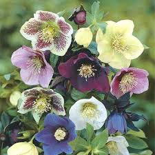 deluxe lenten rose mixture hellebore live bareroot plant multiple colored perennial