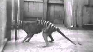 Tigre della Tasmania (un raro video del 1933)
