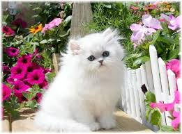 teacup persian cat. Delighful Persian Teacup Persian Kittens Intended Cat K