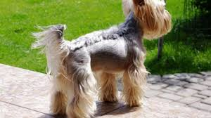 diffe yorkie haircuts lots of yorkshire terrier hair styles