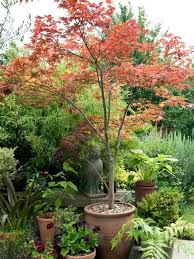 best small patio trees page 2 line