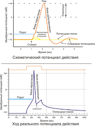 Потенциал действия Википедия a Схематичное изображение идеализированного потенциала действия b Реальный потенциал действия пирамидного нейрона гиппокампа крысы