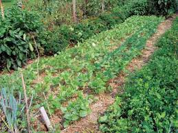 garden cover crop. Cowpea And Dutch Clover Cover Crops Garden Crop