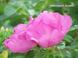 100 seed pink wild rose rosa rugosa flowers fragrant