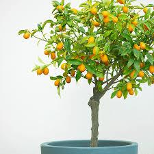Solving Fruit Tree Blooming U0026 Bearing Problems  Stark Brou0027sKumquat Tree Not Bearing Fruit