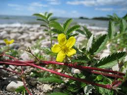 Potentilla anserina - Michigan Flora