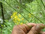 early winter cress
