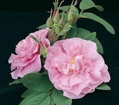 rose rugosa thérèse bugnet