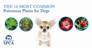 the 16 most common poinonous plants for dogs