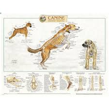 Canine Skeletal Anatomy Laminated Chart Poster
