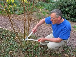 dogwood tree pruning how and when to