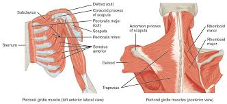 When there is less flexibility in the upper torso, there will be excessive and destructive movement in the neck, shoulders, and lower back. Muscles Of The Pectoral Girdle And Upper Limbs Anatomy And Physiology I