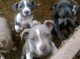 pit bull puppies desktop wallpapers free dog images pets puffy dogs curr 2048 1536 wallpaper hd