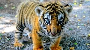 8 4 1366x768 36689 tiger albino lie preview wallpaper tiger cub look kid