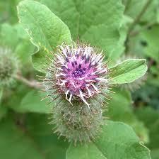 burdock flower essence flower