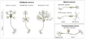 2 Basic Neuron Types Of Different Brain Areas Classed By Their