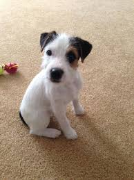 wire haired jack russell terrier. Wirehaired Ones Can Be Even More Treacherous Intended Wire Haired Jack Russell Terrier