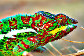 How Do Chameleons Change Color Youtube
