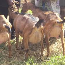 Formula To Maximise Returns From Dairy Goats Daily Nation