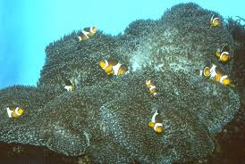 merten s carpet anemone occurs in the aforementioned white color morph as well as green tan and purple