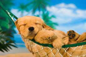 really cute golden retriever puppies sleeping. Simple Really Golden Retriever Puppy To Really Cute Puppies Sleeping U