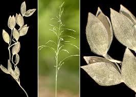 Milium effusum L. subsp. effusum - Sistema informativo sulla flora ...