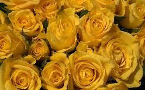 Desktop Background Yellow Rose Wallpaper