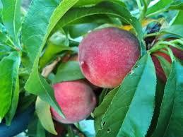 Dormant Pruning U2013 Deciduous Fruit Trees Cane Berries Grapes Dormant Fruit Trees