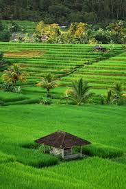 Rice Field Pictures [HD]