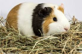 guinea pig bedding superpages