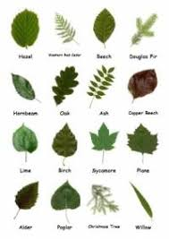 94 Best Tree Identification Images On Pinterest  Tree Fruit Tree Leaf Identification