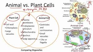 Venn Diagram Diffusion And Osmosis A Venn Diagram On The Difference Between A Plant Cell An