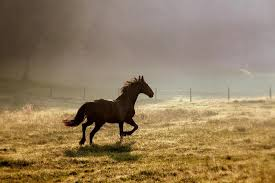 black horses running in a field.  Running Running Horse  By Photophilde Throughout Black Horses In A Field R