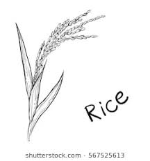 rice plant drawing. Perfect Plant Hand Drawn Vector Illustration Of Rice Plant Grain Sketch Vector Eps 8 Throughout Rice Plant Drawing Shutterstock
