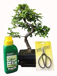 bonsai tree gift set chinese elm 20 25cm in blue ceramic pot and supplied with a driptray amazon co uk garden outdoors