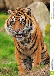 tiger face growling. Contemporary Face Growling Tiger For Tiger Face