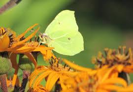 yellow erfly