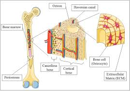 bone tissue advances in bone tissue engineering intechopen