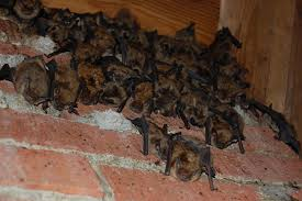 bats hanging out in an attic along the chimney