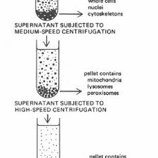 1 Schematic Separation Of Organelles By Differential