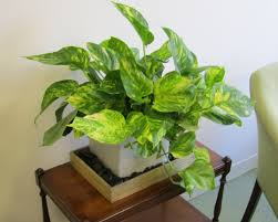 indoor home office plants royalty. Best And Easy To Plant Houseplants That Improve Indoor Air Quality Story Plug Desk Plants Home Office Royalty