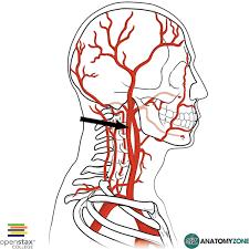 arteries of the face internal carotid artery cardiovascular anatomyzone