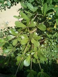 Tropical almond