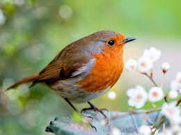 European robin guide: how to identify, diet, habitat and species facts -  Countryfile.com