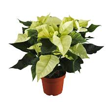 Weihnachtsstern Weiß Topf ø Ca 13 Cm Euphorbia