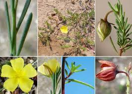 Fumana procumbens (Dunal) Gren. & Godr. - Esploriamo la flora: un ...