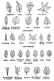 Ohio Leaf Identification Chart Tree Leaf Shapes Tree Identification Leaf Identification