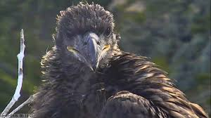 Bald Eagle Age Chart Channel Islands Bald Eagles Have Their Best Year Yet U S