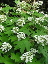 hydrangea quercifolia wee
